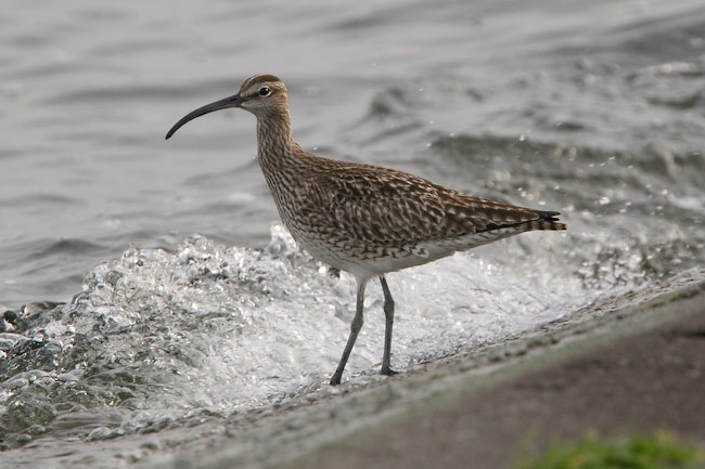 QMR Whimbrel 30 may 2009