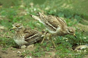 Stone Curlew 320