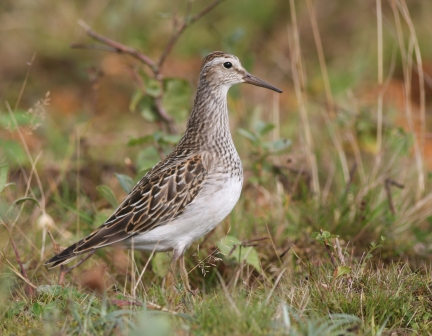 Bird Pectoral Sandpiper_CrookhamCommon MW