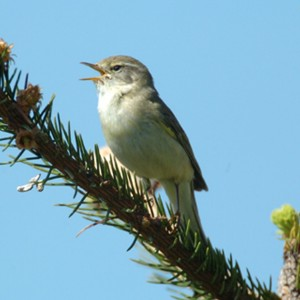 CS Willow Warbler GL