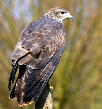 Bird Buzzard 00126