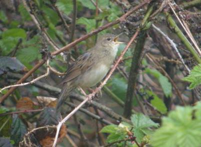 Bird Grasshopper W N Rampton