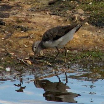 Bird Green Sandpiper PC2009 port