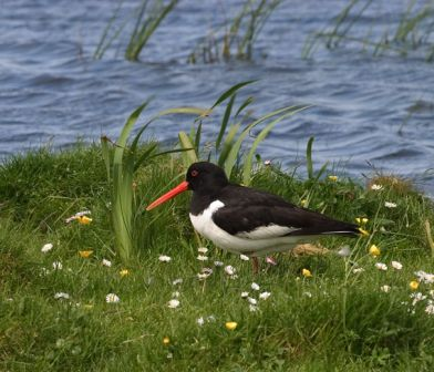 Bird  Oystercatcher DDuckett