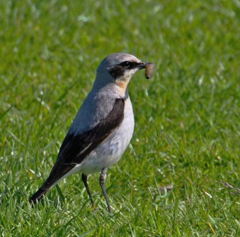 Bird Wheatear PC2009 port