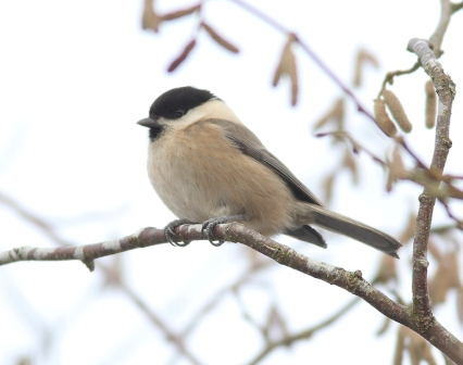 Bird Willow tit coombe wood P Stronach