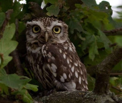 Birds Little-Owl David Harris