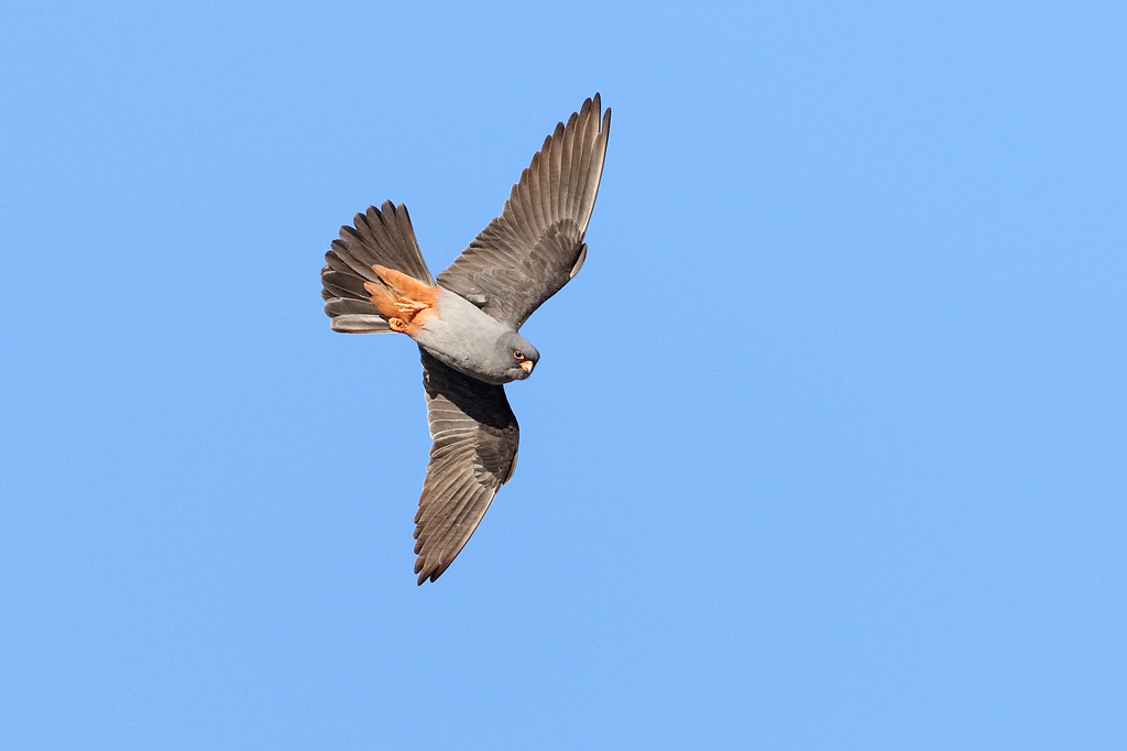 F13 Red-footed Falcon MM