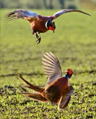 Fighting Pheasants (G)